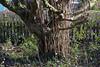 CKuchem-6885 (christine_kuchem) Tags: austrieb baum bäume frühjahr garten haselnuss naturgarten neuaustrieb nussbaum privatgarten ruten stamm stöcke wildgarten wildtriebe winter naturnah natürlich neu wild äste