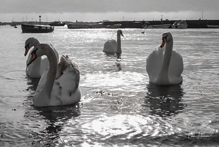 Swans arriving for lunch