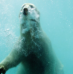 polarbear Blijdorp BB2A5524 (j.a.kok) Tags: ijsbeer beer bear polarbear arctic ursusmaritimus blijdorp animal noordpool northpole mammal zoogdier dier