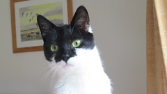 Polly (hedgehoggarden1) Tags: polly animal pets cats canonpowershotsx50hs pollyanna feline canon explored inexplore