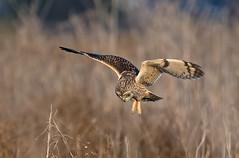 short eared owl (knobby6) Tags: shortearedowl predator raptor birdofprey owl california d5 500mmf4