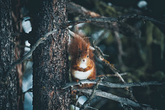 Hey buddy. (Bokehm0n) Tags: landscape nature vsco explore flickr earth travel folk 500px forest winter wildlife photography outdoors wilderness squirrels switzerland st moritz