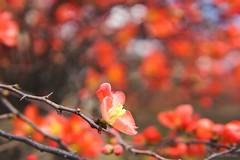 Early spring (Suchi Kotnala) Tags: garden georgia oaklandcemetery atlanta sigma30mmf14 sonya6000 bokeh spring redflowers flowers