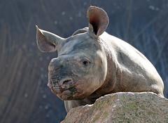 Black Rhino Mara Blijdorp BB2A3396 (j.a.kok) Tags: rhino rhinoceros zwarteneushoorn neushoorn blackrhinoceros blackrhino africa afrika animal blijdorp herbivore babyneushoorn baviaan babyrhino mara mammal zoogdier dier