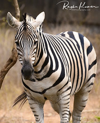 Anna Zoological Park, India (rvk82) Tags: 2018 annazoologicalpark chennai february february2018 india nikkor200500mm nikon nikond850 rvk rvkphotography raghukumar raghukumarphotography southindia tamilnadu vandalur wildlife rvkonlinecom rvkphotographycom in