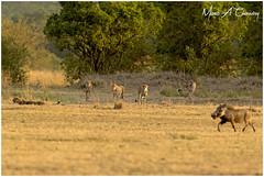 Run for your Life! (MAC's Wild Pixels) Tags: runforyourlife fivemusketeers cheetah cheetahs acinonyxjubatus cheetahcoalition wildcats animal wildlife wildpussy wildafrica wildanimal africanwildlife wildlifephotography mammal spottedpussy spottedfeline outdoors outofafrica beautifulpussy safari gamedrive sunset goldenhour goldenlight masaimara maasaimaragamereserve kenya macswildpixels coth ngc