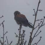 American Kestrel, cold rainy day thumbnail
