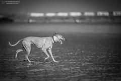 Brean Sands (Ian Garfield - thanks for over 2 million views!) Tags: lulu toula ginny whippet greyhound dog dogs beach brean weston super mare sand sands sea seaside fun playing play catch ball eric sierra labrador oscar