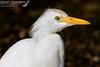Cattle Egret (Bubulcus Ibis) (gcampbellphoto) Tags: cattle egret bubulcus ibis heron nature wildlife avian spain lanzarote gcampbellphoto bird