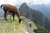 Lama in Machu Picchu (elparison) Tags: machupicchu perù wild travel adventure