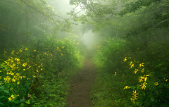 Portal to Neverland (R. Keith Clontz) Tags: appalachiantrail misty foggy lush browneyedsusans wildflowers rkeithclontz path trail roanhighlands ethereal forest dreamy moody neverland