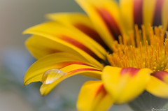 Gazania (Ken Mickel) Tags: beautiful colors dewdrop dewdrops floral flower flowers gazania kenmickelphotography macro misc plants waterdrop waterdrops closeup garden gardens nature photography upclose