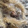 +IMG_6972_cr Rózsaszínű pók - Nádi keresztespók (Larinioides cornutus) (NagySandor.EU) Tags: larinioidescornutus nádikeresztespók keresztespók hungary cinkota