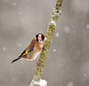 Goldfinch (Colin Rigney) Tags: nature wildlife irishwildlife ireland colinrigney snowyweather snow gardenbirds birds avian outside outdoors branch goldfinch finches canon