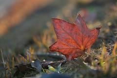 落ち葉 Fallen leaves (takapata) Tags: sony sel90m28g ilce7m2 leaves nature