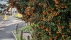 Red Berries 2 (M C Smith) Tags: pentax k3 red berries leaves green road pavement bollards concrete island houses van traffic parking yellow white trafficlights crossing sign verge kerb grass weeds clouds cars
