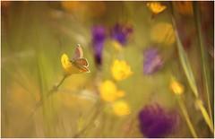 ...nostalgia di primavera (Photo Luc@) Tags: canon farfalla colore natura sfocato bokeh