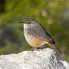 Rock Wren (Ed Sivon) Tags: america canon nature lasvegas wildlife wild western southwest desert clarkcounty clark vegas bird henderson nevada park