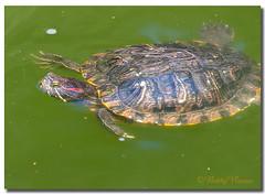Turtle (Betty Vlasiu) Tags: turtle nature wildlife kenilworth aquatic gardens