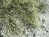 Ramalina curnowii (Philip_Goddard) Tags: ramalinacurnowii ramalina lichens fruticose fertile coastal cornwall ramalinacuspidata southwestengland england unitedkingdom britain british britishisles greatbritain uk europe