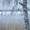 Impression (Stefano Rugolo) Tags: stefanorugolo pentax k5 pentaxk5 smcpentaxm50mmf17 squareformat winter snow impression lake reeds framing natural tree branches birch depthoffiled house farm hälsingland sverige sweden bark