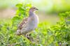 Gray Francolin (matthewolsonphotography.com) Tags: francolin grayfrancolin bird gamebird wildlife maui kihei hawaii animal birding birdwatching green outdoor