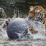 Tiger and ball, again thumbnail