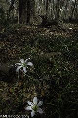 The Lily of the Bottomlands (Michael l Dye) Tags: rain lily zephyranthes atamasca bottomlands swamp flower florida forest