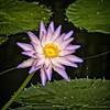 Water Star (MrBlueSky*) Tags: lily waterlily flower plant petal nature outdoor garden water colour royalbotanicgardens kewgardens london pentax pentaxart pentaxlife pentaxk1 pentaxawards pentaxflickraward aficionados
