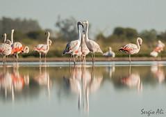 Flamenco austral. (Phoenicopterus chilensis) (Sergio Ali - Naturaleza en imágenes) Tags: flamenco phoenicopterus chilensis laguna aves birds wildlife
