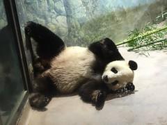 This bear!! (CSBaltimore) Tags: papa zoo bear panda tian