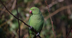 Parakeet in London (cuppyuppycake) Tags: roseringed parakeet bird london green nature spring wildlife outdoors