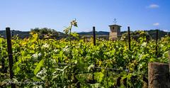 (Jonan G.E) Tags: jonanesguerra canon40d canon napavalley napacounty winecountry california usa vineyard wine landscape grape nature beauty relax serene