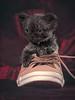 "the ""Max"" (laagwater) Tags: selkirkrex kitten kat shoe race olympusem5 sigma60mmf28"