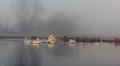 stour valley swans_1919 (mistycrow) Tags: swan swans birds river stour meadows wildlife fog mist mistycrow misty landscapes sunrise water sudbury suffolk