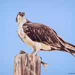 Osprey with Breakfast thumbnail