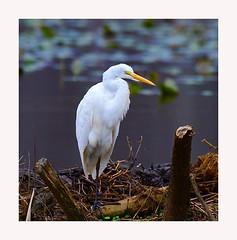 Great Egret (George McHenry Photography) Tags: egret shoebirds greategret southcarolinabirds southcarolina