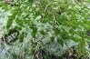 Cold days: half frozen moss (Elisa1880) Tags: frost vorst koud cold koude dagen days rijp winter ijs ice