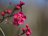 Japanese apricot blossoms (Greg Peterson in Japan) Tags: yasu 滋賀県 shiga japan plants 植物 flowers plumblossoms 野洲市 梅 花 shigaprefecture