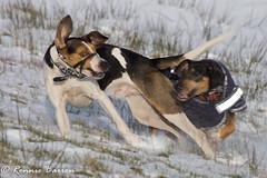 DSC07943 (RCB4J) Tags: ayrshire jakob rcb4j ronniebarron scotland sonyslta77v art babygrace dobermanterrier dogs photography siameselurcher snow trailhound winter running playing sonydt18250mmf3563