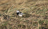 Pied Wagtail (jpotto) Tags: wagtail piedwagtail uk lincolnshire donnanook