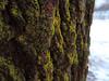 Lichen (amaxphoto) Tags: tree bark lichen macro