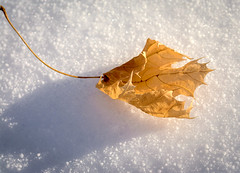 Feuille sur neige (mcastonguay60) Tags: feuille hiver macro neige ombre montréal québec canada