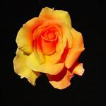 Toronto Ontario - Canada - Edwards Botanical Gardens - Yellow Rose thumbnail
