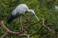 Open Billed Stork - Behavioral (mahesh.kondwilkar) Tags: avifauna behavioralaspects karnataka nature naturelover naturephotography openbilledstork ranganathittu