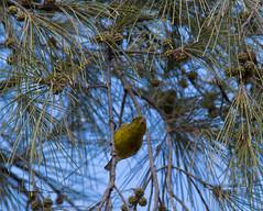 canary (tsd17) Tags: canary grancanaria wildlife canon7dmk11