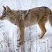 Coyote 15
