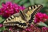 Schwalbenschwanz (Hugo von Schreck) Tags: hugovonschreck schwalbenschwanz butterfly schmetterling falter insect insekt macro makro greatphotographers canoneos5dsr tamron28300mmf3563divcpzda010