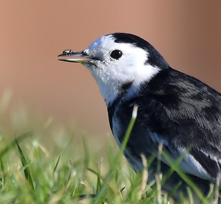 Pied Wagtail  and Weevil