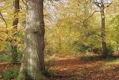 Autumn Woodland (cycle.nut66) Tags: woodlandwoodsautumnbeechchilternschilternhillslightfloorfallenleavesgreen goldbrowntrunktrunksbranchesdepthfilmkodak200printscananalogue3528om2zuikomaitani